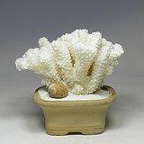 天然贝壳 海螺