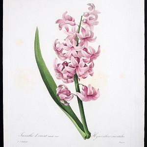 18世纪艺术巨匠雷杜德《花卉圣经》铜版画  风信子