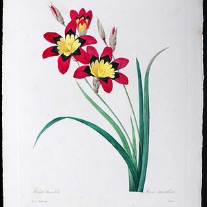 18世纪艺术巨匠雷杜德《花卉圣经》铜版画  三色魔杖