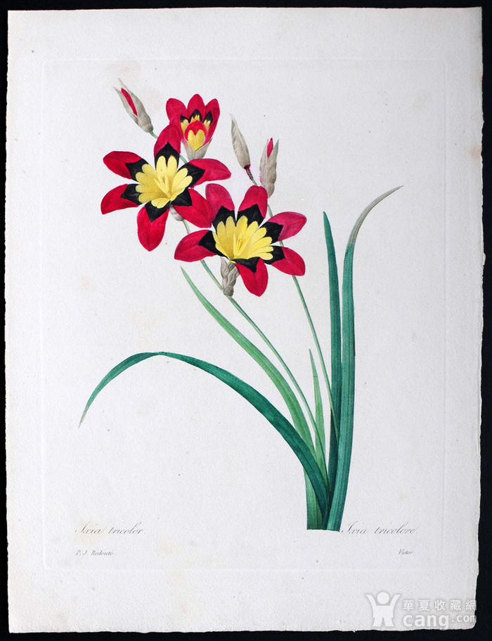 18世纪艺术巨匠雷杜德《花卉圣经》铜版画  三色魔杖图1