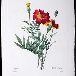 18世纪艺术巨匠雷杜德《花卉圣经》铜版画  万寿菊