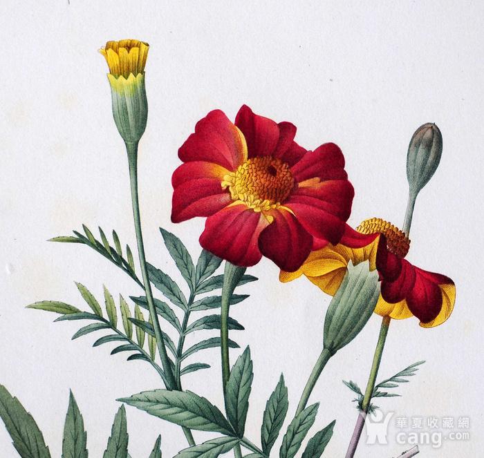 18世纪艺术巨匠雷杜德《花卉圣经》铜版画  万寿菊图2