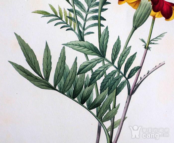 18世纪艺术巨匠雷杜德《花卉圣经》铜版画  万寿菊图3
