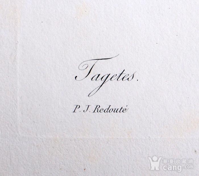 18世纪艺术巨匠雷杜德《花卉圣经》铜版画  万寿菊图4