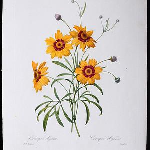 18世纪艺术巨匠雷杜德《花卉圣经》铜版画  蛇目菊