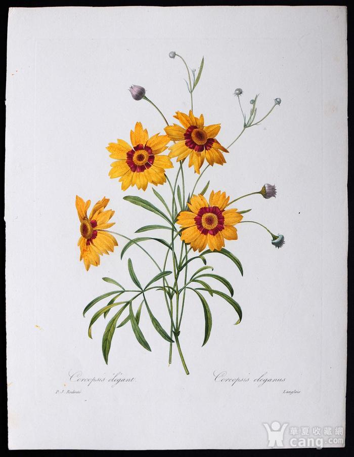 18世纪艺术巨匠雷杜德《花卉圣经》铜版画  蛇目菊图1