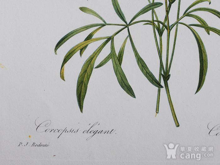 18世纪艺术巨匠雷杜德《花卉圣经》铜版画  蛇目菊图3