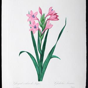 18世纪艺术巨匠雷杜德《花卉圣经》铜版画  喇叭百合