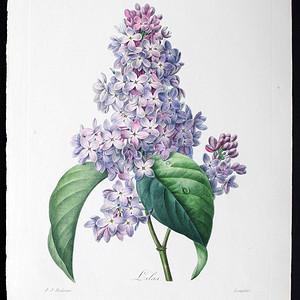 18世纪艺术巨匠雷杜德《花卉圣经》铜版画  紫丁香