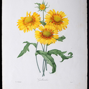 18世纪艺术巨匠雷杜德《花卉圣经》铜版画  天人菊