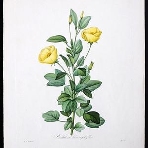 18世纪艺术巨匠雷杜德《花卉圣经》 锦葵
