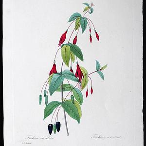 18世纪艺术巨匠雷杜德《花卉圣经》铜版画  倒挂金钟