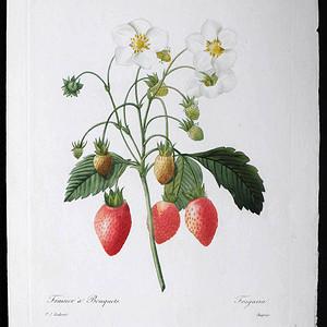 18世纪艺术巨匠雷杜德《花卉圣经》铜版画  草莓