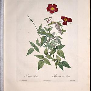 18世纪艺术巨匠雷杜德《玫瑰圣经》 皇室版  茶香玫瑰