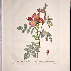 18世纪艺术巨匠雷杜德《玫瑰圣经》 皇室版  紫叶蔷薇