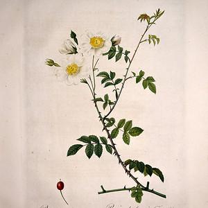 18世纪艺术巨匠雷杜德《玫瑰圣经》 皇室版 之旋花蔷薇