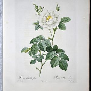 18世纪艺术巨匠雷杜德《玫瑰圣经》 皇室版  半重瓣白玫瑰