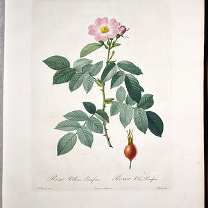 18世纪艺术巨匠雷杜德《玫瑰圣经》 皇室版  苹果蔷薇