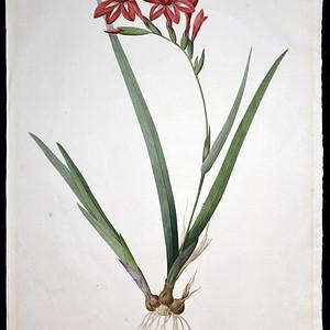 18世纪艺术巨匠雷杜德《百合圣经》之绯红唐菖蒲