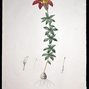 18世纪艺术巨匠雷杜德《百合圣经》  费城百合