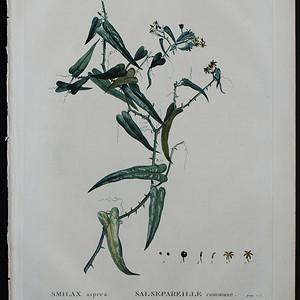 18世纪艺术巨匠雷杜德《乔木灌木圣经》  穗菝葜