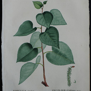 18世纪艺术巨匠雷杜德《乔木灌木圣经》  杨