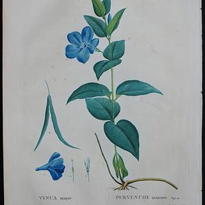18世纪艺术巨匠雷杜德《乔木灌木圣经》 蔓长春花