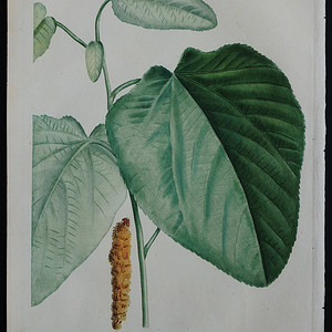 18世纪艺术巨匠雷杜德《乔木灌木圣经》 异叶杨