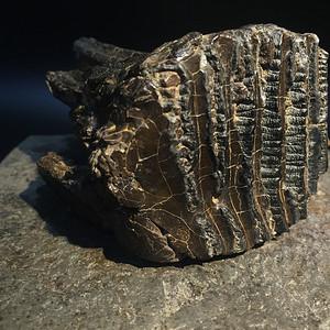 冰河时期史前猛犸象臼齿化石