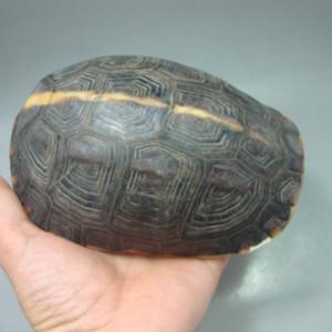 镇宅辟邪:黄缘龟壳