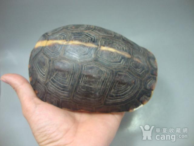 镇宅辟邪:黄缘龟壳图1
