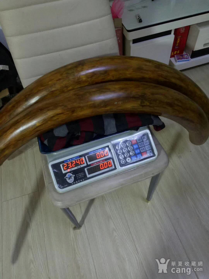 特价推荐 23斤猛犸原牙好弧长172厘米图7