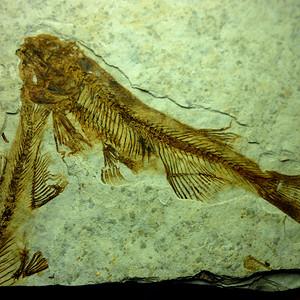 距今一亿四千万年前的狼鳍鱼化石 7号!