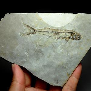 化石9号!距今一亿四千万年前的狼鳍鱼化石!
