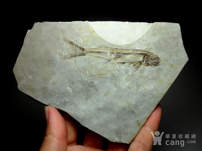 化石9号!距今一亿四千万年前的狼鳍鱼化石!图1