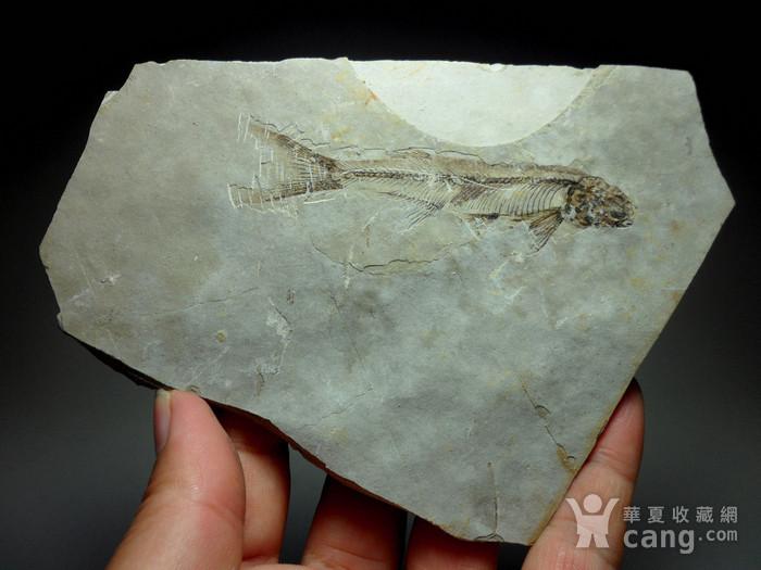 化石9号!距今一亿四千万年前的狼鳍鱼化石!图2