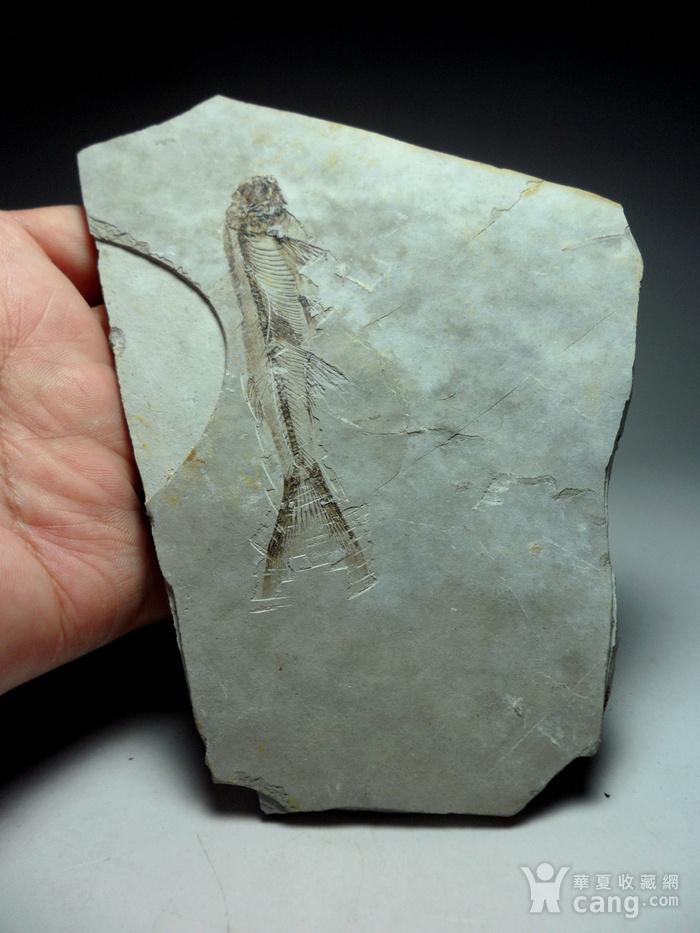 化石9号!距今一亿四千万年前的狼鳍鱼化石!图4