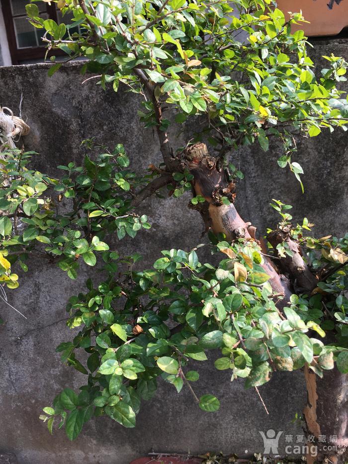 雀梅盆景图3
