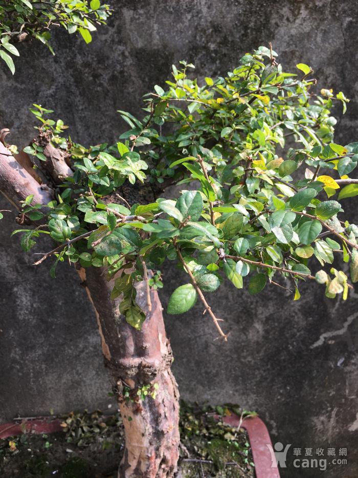 雀梅盆景图4