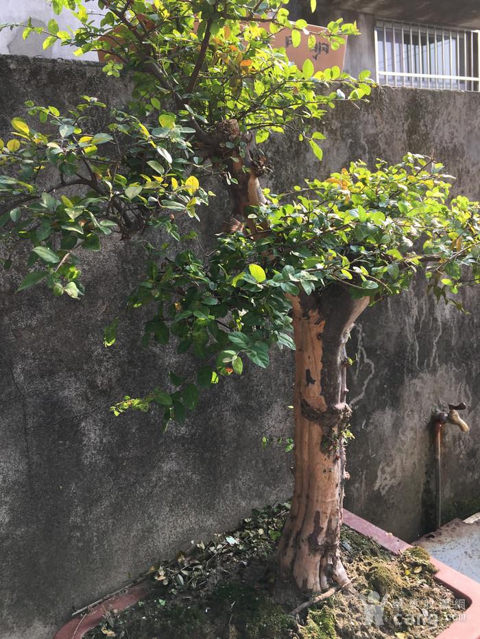 雀梅盆景图5