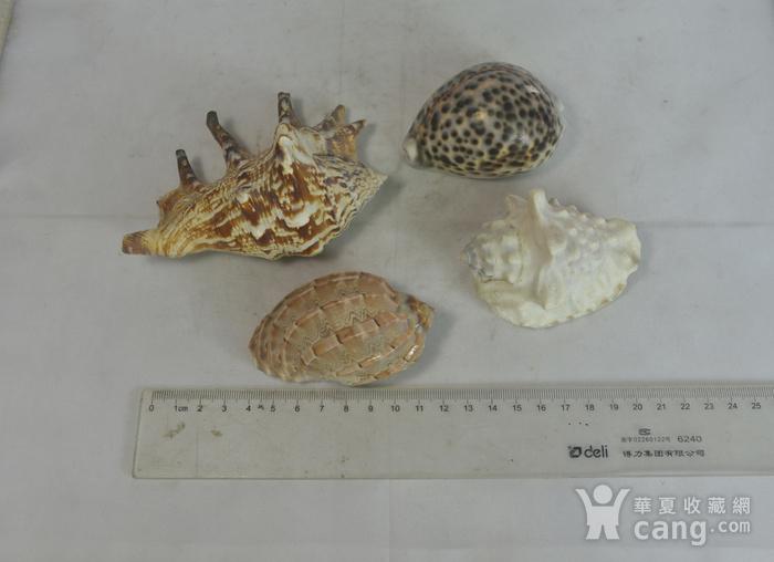 深海螺贝壳四个图2