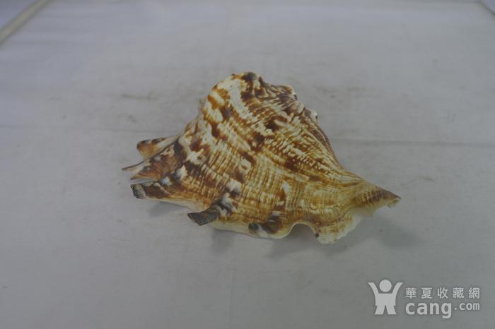 深海螺贝壳四个图3