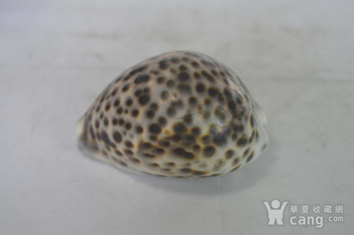 深海螺贝壳四个图7