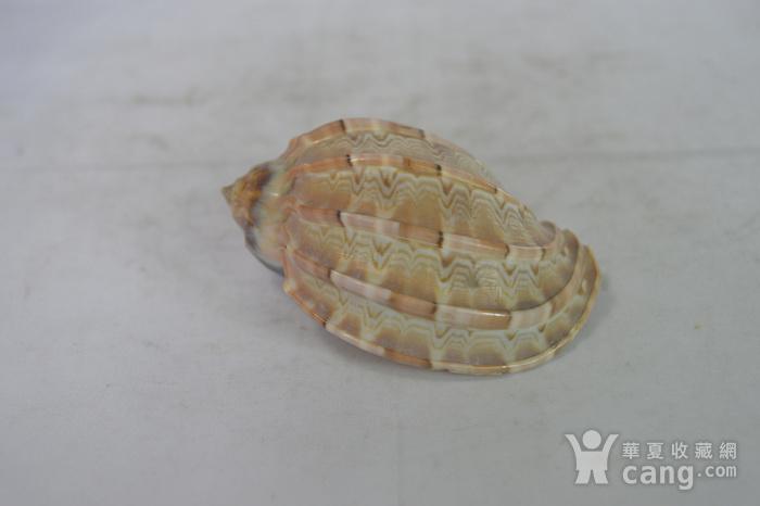 深海螺贝壳四个图9