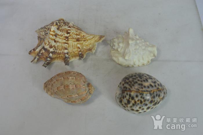 深海螺贝壳四个图11