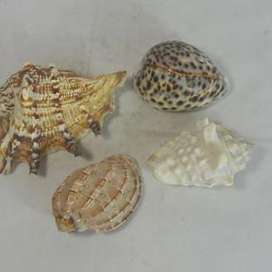 深海螺贝壳四个